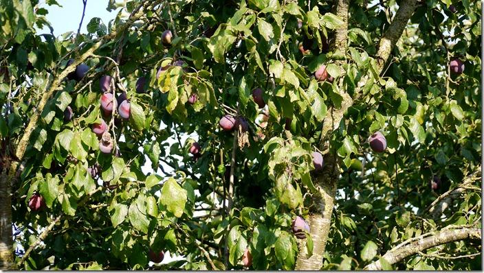 P1520680 pruimenboom plum tree (c) willemjdewit