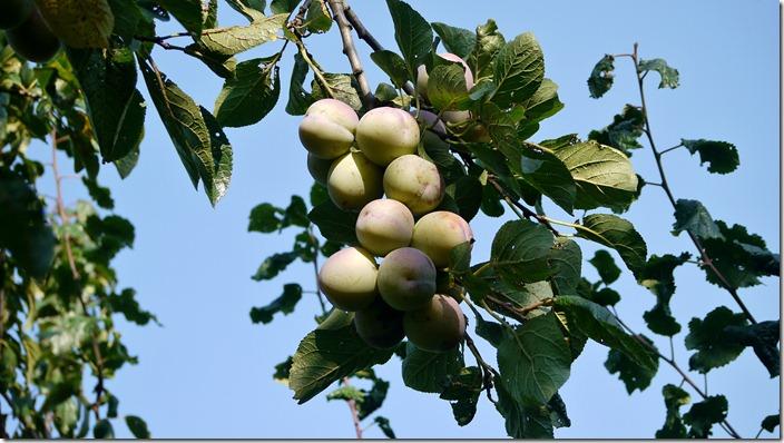 P1520685 pruimen plums (c) willemjdewit